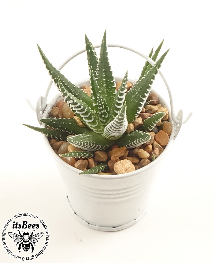 "5 Mini Cactus White Buckets - Assorted Cacti in 2"" Metal Bucket - Wedding, Favor"