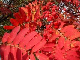 1 Packet of 150 Seeds Rowan European Mountain Ash Tree - Rosales Plantae - $14.57