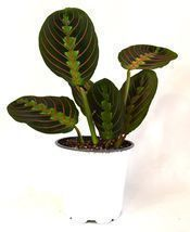 1 Plant of Red Prayer Plant/Maranta  - ₨1,899.08 INR