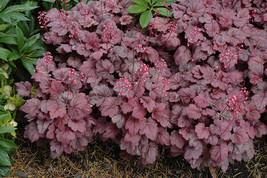 """18 Heuchera """"Grape Soda"""" - Coral Bells - Live Rooted Plant - Free Shipping - - $119.70"""