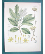 SASSAFRAS OFFICINALE Medicianl Plant - Beautiful COLOR Botanical Print - $28.69