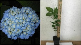 Nikko Blue Hydrangea 2 plants - Outdoor Living - $39.99