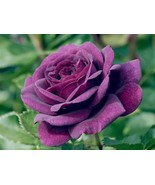 50 Purple Rose Flower seeds, Summer, Autumn - $3.99