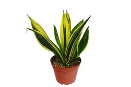 """Snake Plant 'Gold Flame' in 6"""" Pot / FREE Care Guide / Live Plant - $62.99"""