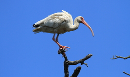 White Ibis 13 x 19 Unmatted Photograph - $35.00