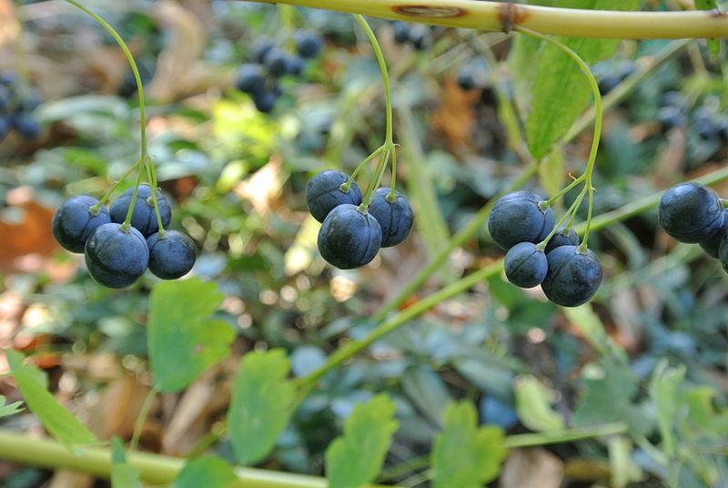 500 seeds Garden Huckleberry Tree Seeds and 50 similar items