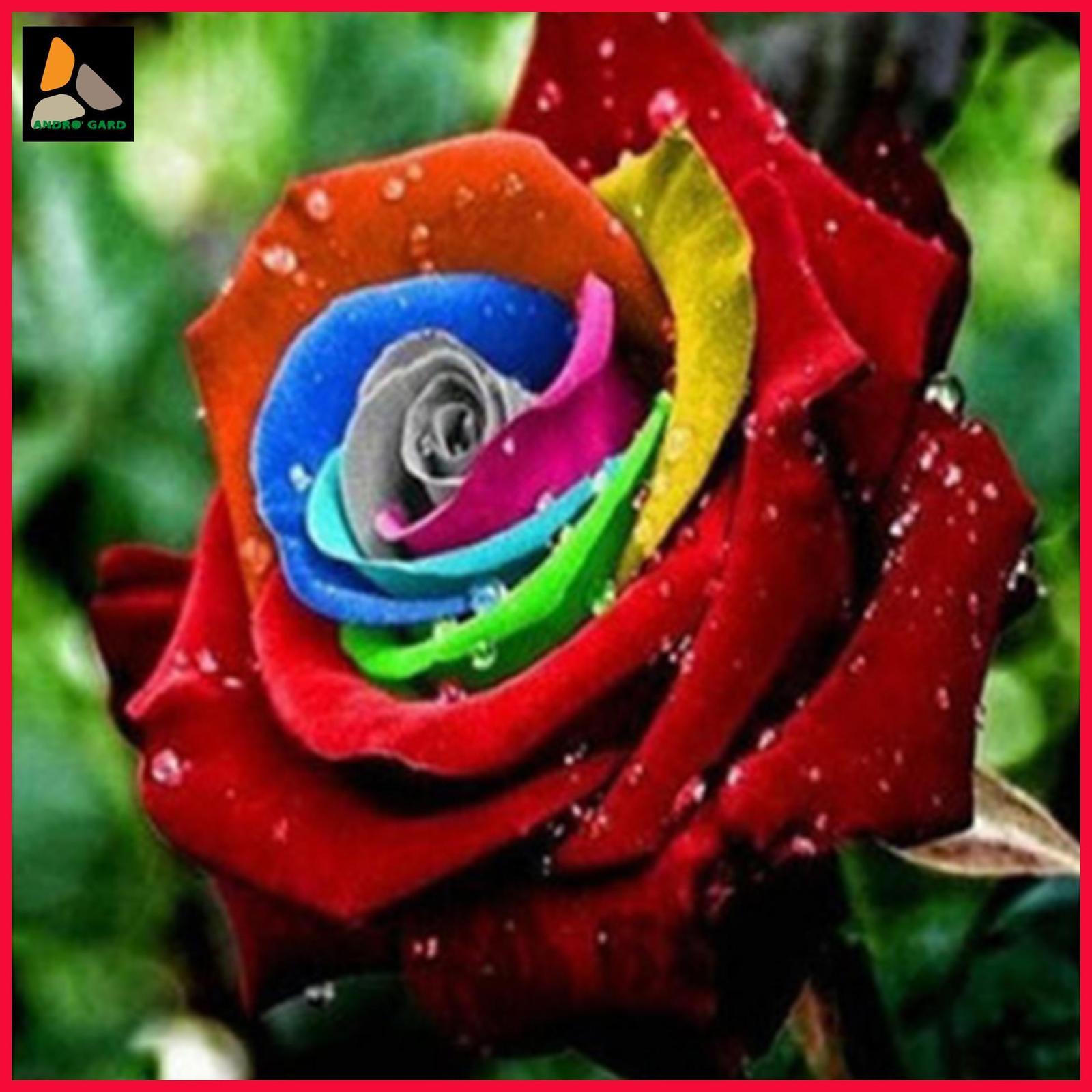1000 of Rainbow Rose Seed Professional Seedling floer Plant/ Vary garden flowers