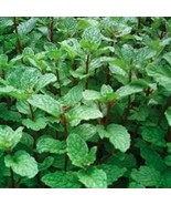 """organic mojito mint t plant (rooted ) / 1 count 4-6"""" long Grown in the U.S.A - $15.00"""