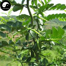 Buy Gleditsia Tree Seeds 60pcs Plant Gleditsia Sinensis Tree For Honeylo... - $5.99