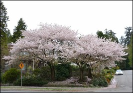 AKEBONO Flowering Cherry Tree image 2