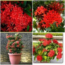 DWARF IXORA RED ADULT LIVE PLANT 10 INCHES TALL OR MORE GALLONS SIZE - $34.99