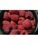 Plant a 5 Foot Row of Joan J Thornless Everbearing Red Raspberry Rootstock - $6.87