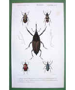 BEETLES Coleoptera Calandra Diaprepes - H/C SUPERB Color Antique Print - $15.29