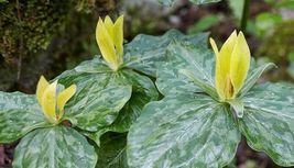Yellow Trillium 5 bulbs (T. luteum) wildflower - $26.99