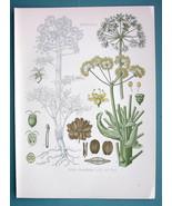 DEVIL'S DUNG Medicinal Plant Ferula Scorodosma - Beautiful COLOR Botanic... - $22.95