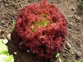 500 Fresh Seeds - Lettuce Lolla Rossa Darkness Red - $12.38