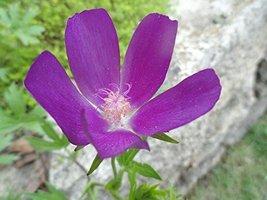 1/8 Oz Seeds Callirhoe Involucrata Purple Poppy Mallow - $24.75