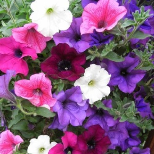 Trailing Petunia Mixed Colors Hybrida Pendula 25 Annual Seeds image 2
