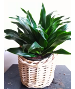 Dracaena Dermensis Janet Craig Easy Care Tropical House Plant - €25,46 EUR