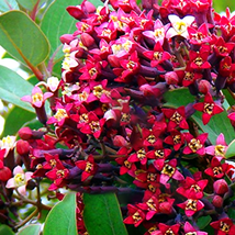 100pcs Very Wonderful Indian Sandalwood Tree Seeds IMA1 - $15.99