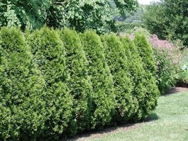 American Arborvitae, Thuja occidentalis, 50 Tree Seeds (Evergreen Hedge) - $10.99