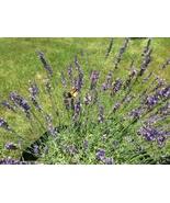 Phenomenal Lavender Live Plant - $15.00 - $25.00