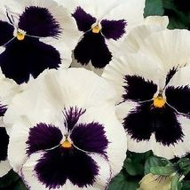 50 Pcs Pansy Seeds, Silverbride, Swiss Giant Pansies Viola Seeds, Heirlo... - $13.99