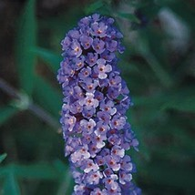 3 Blue Butterfly Bush - Three Buddleia davidii Nanho Blue - Five Live Perennials - $24.45