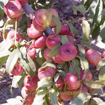 2 seeds / pack, Red Flat Peach Peento Saucer Peach Plant Seeds #NF173 - $6.92