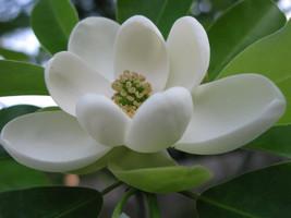 SWEETBAY MAGNOLIA qt. pot  Laurel Magnolia, Swamp Magnolia - (Magnolia virginian image 1