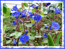 SHIPPED FROM US 400 California Bluebell Desert Canterbury Flower Seeds, LC03 - $15.00