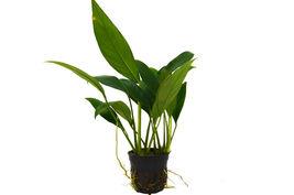 """1 Live Plant - Aquatic 'Anubias Congensis' Plant 4"""" Pot #HPS13 - $34.99"""