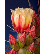 Pear Flower, Prickly Pear Cactu, Fine Art Photos, Paper, Metal, Canvas P... - $40.00 - $442.00