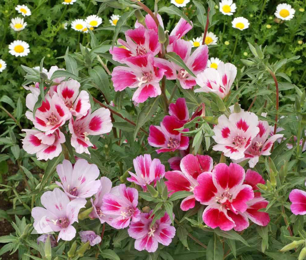 Primary image for Godetia Dwarf Mix 500 seeds Clarkia amoena / Farewell-to-Spring CombSH B46
