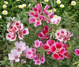 Godetia Dwarf Mix 500 seeds Clarkia amoena / Farewell-to-Spring CombSH B46 - $13.58