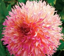 BEST PRICE 20 Seeds Myrtle's Folly Multi-colored Dahlia,DIY Flower Seed E3231 DG - $5.00