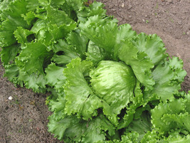 Ship From Us 1000 Great Lakes Lettuce Batavian Iceberg Lactuca Sativa Seeds SBR4 - $12.00