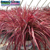 50 Pcs Pennisetum setaceum Fireworks Fountain Grass Seed,Decorative NF812 DG - $5.99