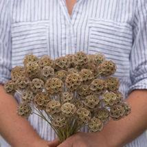 Starflower Scabiosa Flower Seeds - $8.99