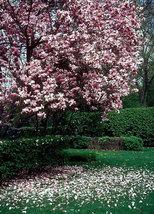 "Saucer Magnolia Soulangeana 2 1/2"" pot shrub/tree image 5"