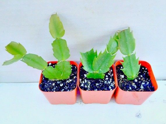 Primary image for Pink Plant Cuttings - Schlumbergera Christmas Cactus Succulent Indoor Houseplant