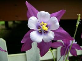 50 Purple White Columbine Flower Perennial Seeds #STL17 - $15.17