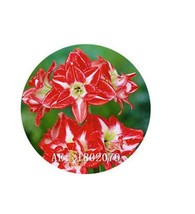 HAPPY FLOWER 2 Bulbs MOJOLANGU True Hippeastrum Rutilum Amaryllis Love S... - $1.78