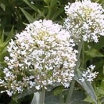 SHIP FROM US 40 Seeds White Jupiters Beard Centranthus,DIY SB Flower Seeds - $27.99