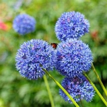 Blue Allium Bulbs-5 Pack-Magnificent Blue Blooms, A Must Have in The Garden - $15.34