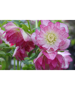 "HS Garden - 50 seeds Double Helleborus ""Peppermint Ice"" Bonsai plants - $2.50"
