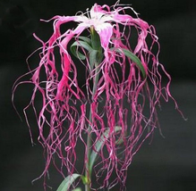 50pcs VeryRare Exotic 'long hair' Mixed Dianthus Red Pink White Flower S... - $13.99