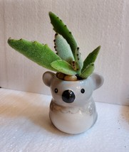 "Succulent in Koala Planter, Panda Plant, 2.5"" ceramic image 3"
