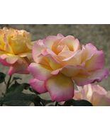 Peace Rose Bush Hybrid Tea Rose 1 Plant Border #NR - $89.99