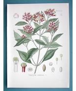 CLOVE Medicinal Plant Eugenia Caryophyllata - Beautiful COLOR Botanical ... - $22.95